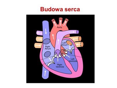 Budowa serca. Budowa mięśnia sercowego Układ bodźcotwórczy serca.