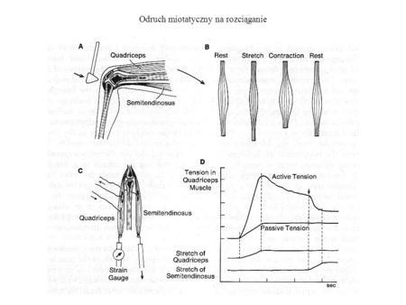 Odruch miotatyczny na rozciąganie. Odruchy mięśniowe i skórne Badanie obwodów odruchów. Porównanie odpowiedzi w aksonie motoneuronu w rdzeniu kręgowym.