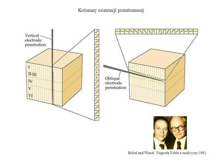 Hubel and Wiesel. Nagroda Nobla z medycyny 1981 Kolumny orientacji przestrzennej.