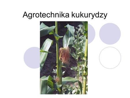 Agrotechnika kukurydzy. Historia uprawy kukurydzy Kukurydza (Zea mays L.) należy do jednych z najbardziej wydajnych roślin zbożowych i jest uprawiana.
