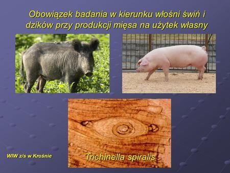 Obowiązek badania w kierunku włośni świń i dzików przy produkcji mięsa na użytek własny WIW z/s w Krośnie Trichinella spiralis.