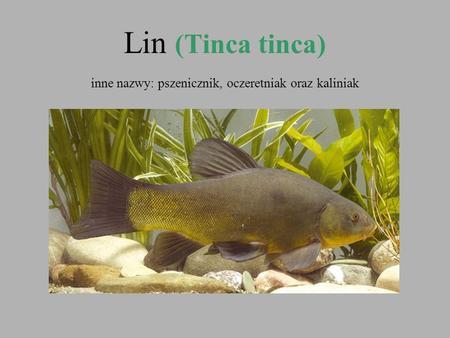 Lin (Tinca tinca) inne nazwy: pszenicznik, oczeretniak oraz kaliniak.