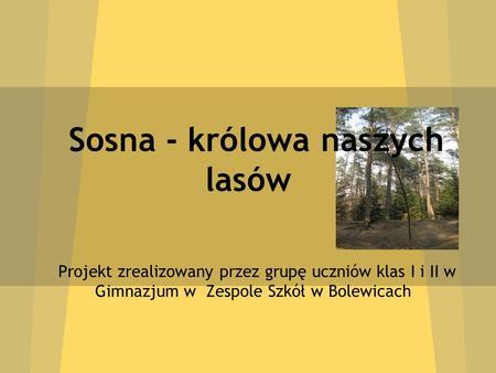 Sosna - królowa naszych lasów Projekt zrealizowany przez grupę uczniów klas I i II w Gimnazjum w Zespole Szkół w Bolewicach.