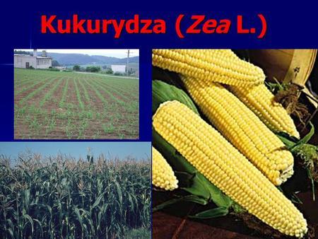 Kukurydza (Zea L.). Plemię: kukurydzowate Maydeae Rodzaj: Kukurydza Zea. Gatunek: kukurydza uprawna Zea mays L.